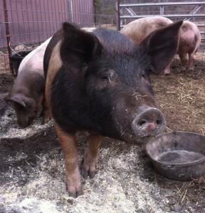 Dom Pig 2